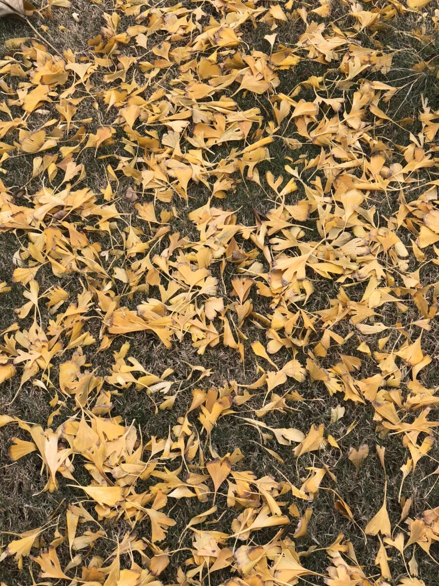 GB tree leaves in the fall